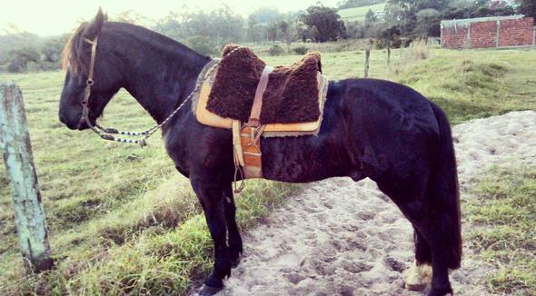 Equídeo Equino Crioulo Cavalo Preta Trabalho Registrado - e-rural Imagens