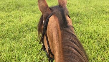 Equídeo Equino Campolina Cavalo Baia Marcha Picada Não Registrado - e-rural Imagens