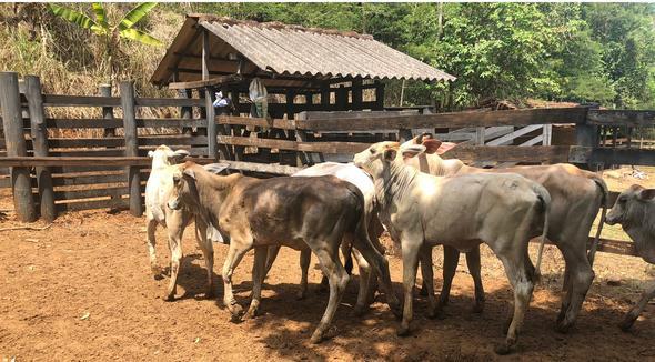 Bovino Dupla Aptidão Simental Bezerro - e-rural Imagens