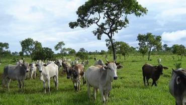 Bovino Corte - e-rural Imagens