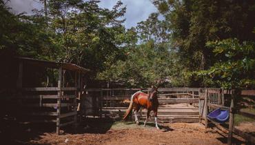 Equídeo Equino Mangalarga Marchador Garanhão Pampa Marcha Picada Não Registrado - e-rural Imagens