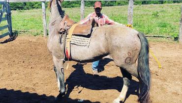 Equídeo Equino Crioulo Potra Rosilha Trabalho Registrado - e-rural Imagens