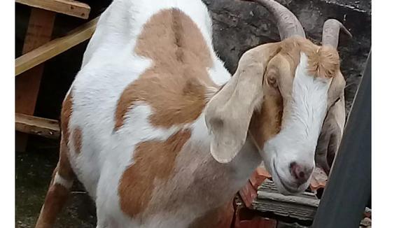 Caprino Dupla Aptidão Canindé Cabra - e-rural Imagens