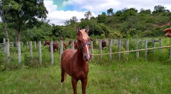 Equídeo Equino Mangalarga Marchador Potro Baia Marcha Picada Não Registrado - e-rural Imagens