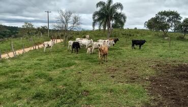 Bovino Corte Mestiço Vaca 11-15@ - e-rural Imagens