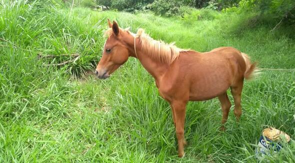 Equídeo Equino Árabe Não Registrado Cavalo Castanha - e-rural Imagens