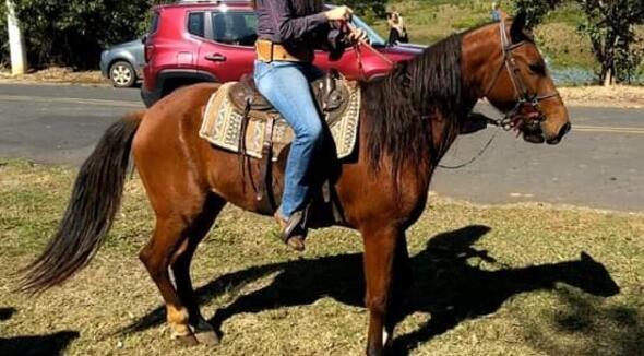 Equídeo Equino Mangalarga Marchador Não Registrado Cavalo Castanha Marcha Picada - e-rural Imagens