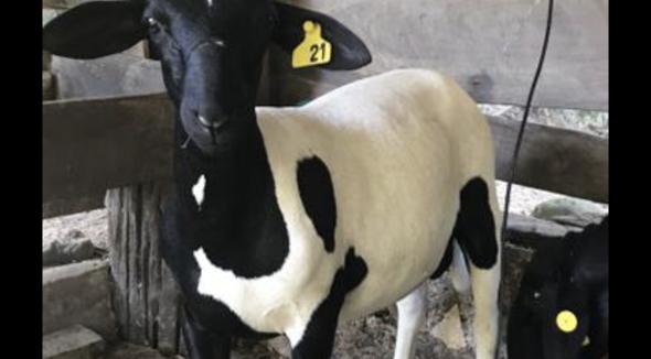 Ovino Corte Santa Inês Reprodutor Andrológico em dia - e-rural Imagens