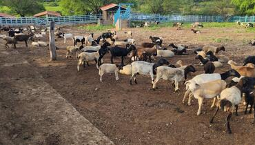 Ovino Corte Mestiço Ovelha 35-50kg - e-rural Imagens
