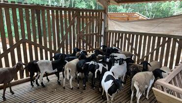 Ovino Corte Dorper Borrega 25+kg - e-rural Imagens