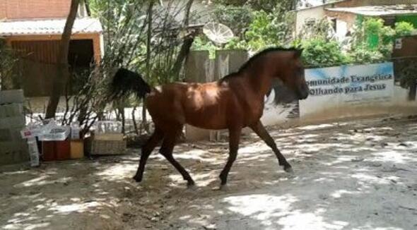 Equídeo Equino Árabe Registrado Garanhão Castanha Trabalho - e-rural Imagens