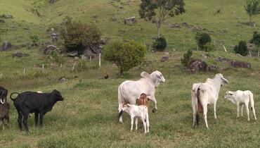 Bovino Corte Tabapuã Touro 20+@ - e-rural Imagens
