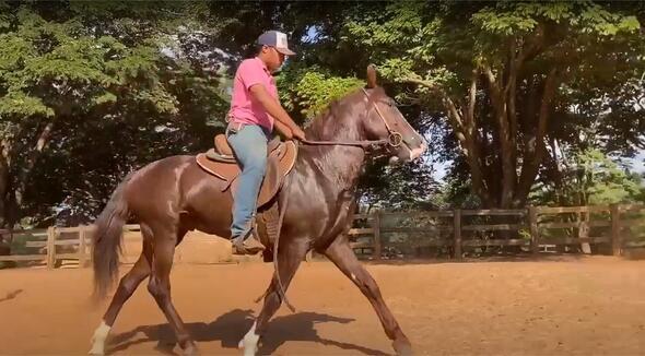 Equídeo Equino Mangalarga Registrado Cavalo - e-rural Imagens