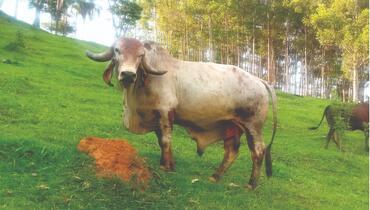 Bovino Dupla Aptidão Gir Touro - e-rural Imagens