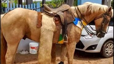 Equídeo Equino Quarto de Milha Cavalo Baia Corrida Registrado - e-rural Imagens