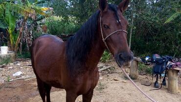 Equídeo Equino Mangalarga Marchador Cavalo Alazã Marcha Batida Registrado - e-rural Imagens