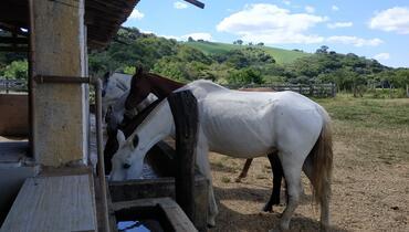 Equídeo Equino Mangalarga Marchador Égua Tordilha Marcha Batida Registrado - e-rural Imagens