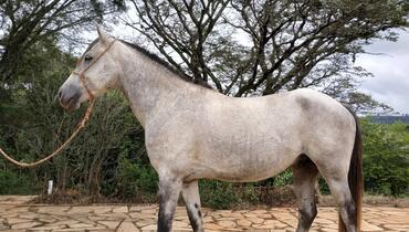 Equídeo Equino Mangalarga Marchador Cavalo Tordilha Marcha Batida Não Registrado - e-rural Imagens