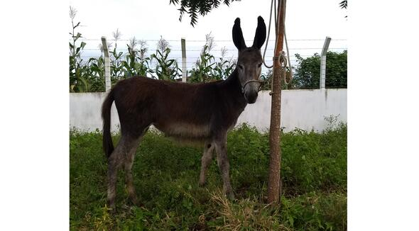 Equídeo Asinino - e-rural Imagens