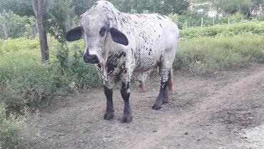 Bovino Leite Girolando Touro - e-rural Imagens