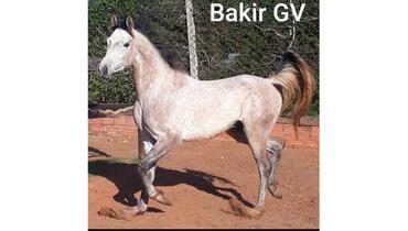 Equídeo Equino Árabe Registrado Cavalo Tordilha - e-rural Imagens
