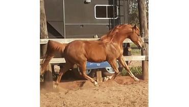Equídeo Equino Árabe Registrado Cavalo Alazã - e-rural Imagens
