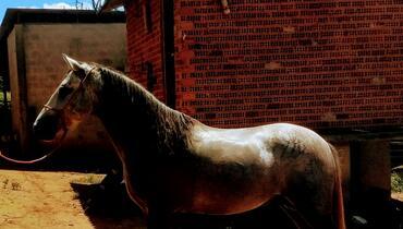 Equídeo Equino Mangalarga Cavalo Tordilha Marcha de Centro Não Registrado - e-rural Imagens