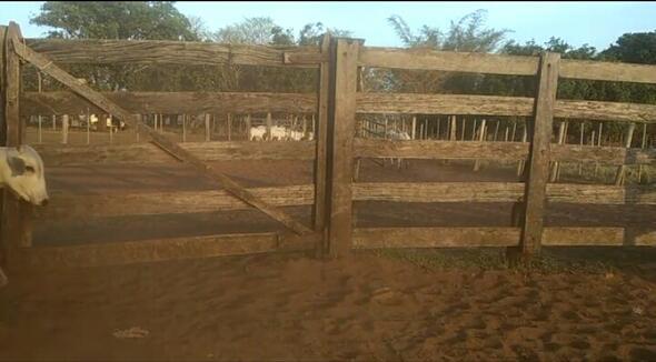 Bovino Corte Indubrasil Bezerra 1-5@ - e-rural Imagens