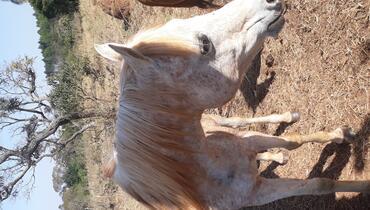 Equídeo Equino Árabe Não Registrado Cavalo Tordilha Trabalho - e-rural Imagens