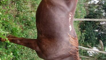 Equídeo Equino Quarto de Milha Cavalo Alazã Trabalho Não Registrado - e-rural Imagens