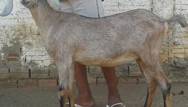 Caprino Leite Angulo Nubiana Cabra 2-3l - e-rural Imagens