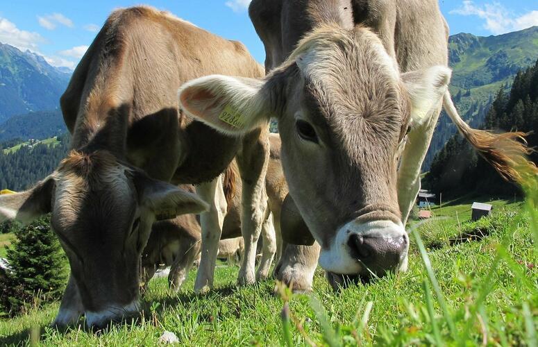 Boas condições das pastagens favorecem preços do boi gordo
