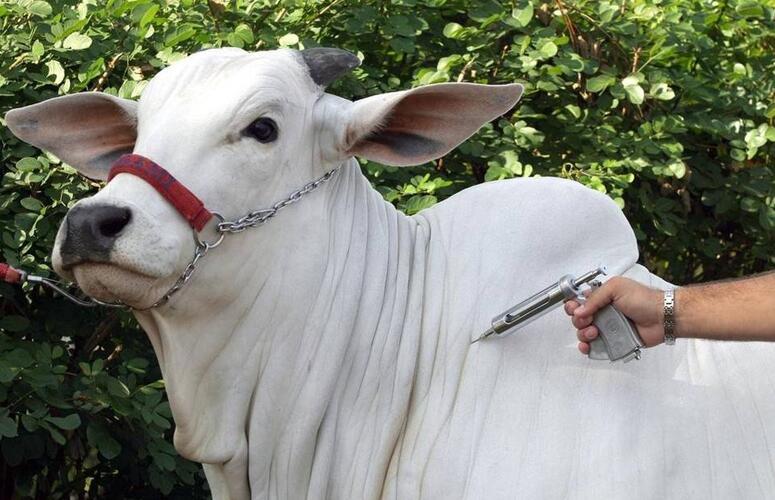 Primeira etapa de vacinação contra a febre aftosa alcança 97,81% do rebanho nacional