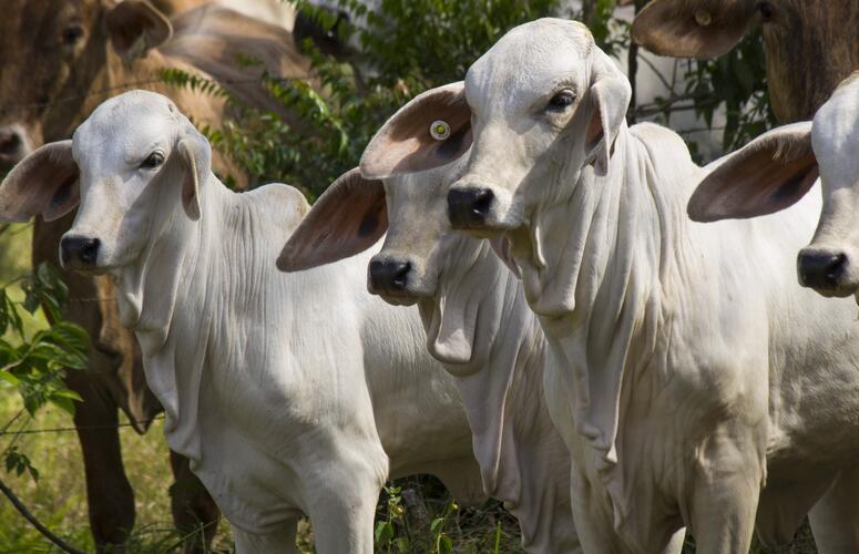 Pouca negociação e preços mais baixos no mercado do boi gordo