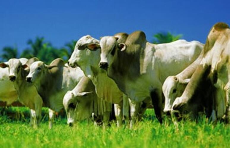 04 Dicas de como atingir resultados extraordinários com a pecuária