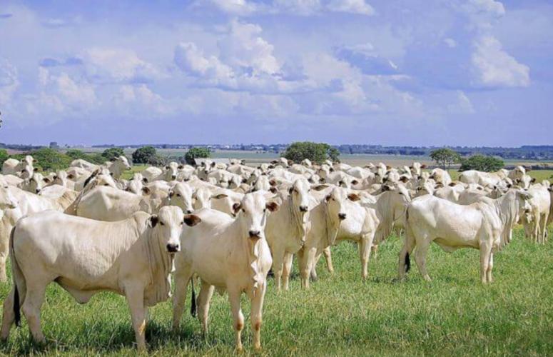 Saiba quais são os benefícios econômicos do resfriamento de bois de engorda no Brasil