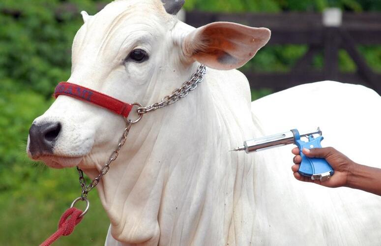 Febre aftosa: Vacinação deve atingir 170 milhões de bovinos e bubalinos