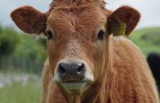 Capa - Argentina tem surto de raiva em bovinos.