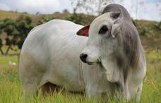 Capa - 5 princípios que todo produtor deveria considerar no manejo de gado de corte