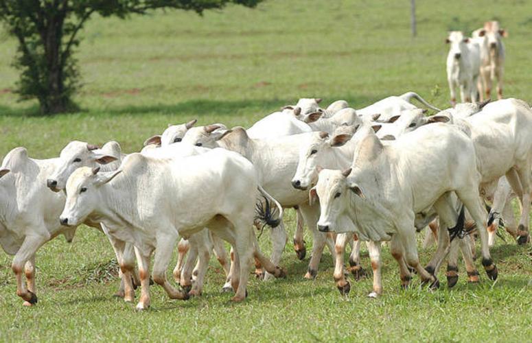 Brasil passa a ter 20% de bovinos livres de aftosa sem vacinação, diz ministra