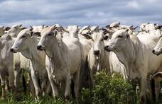 Capa - Criação de gado de corte: passo a passo para ter uma produção lucrativa!