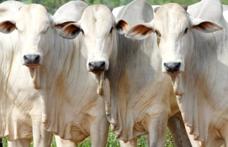 Capa - Frigoríficos conseguem maior conforto nas escalas de abate, mas boi gordo se mantém em alto patamar de preço