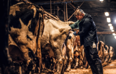 Capa - O que é a inseminação artificial em bovinos?