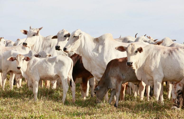 4 dicas para não sair no prejuízo na hora de comprar seu gado
