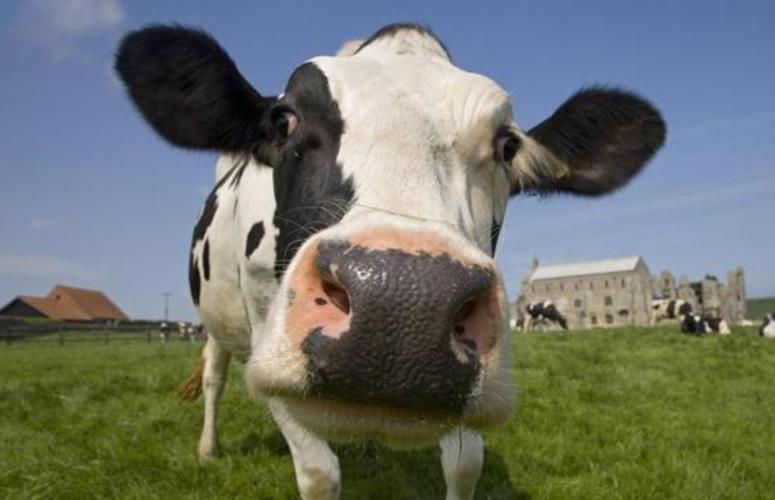 Temperatura do Nariz das vacas podem revelar suas emoções