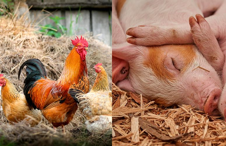 Acordo EUA-China deve ter efeitos limitados na vendas de aves e suíno do Brasil