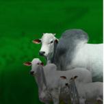 5º Leilão Virtual Genética Provada Fazenda API